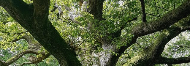 Thor Oak tree Savernake forest UK